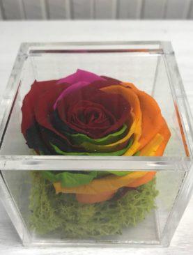 Rosa stabilizzata multicolor