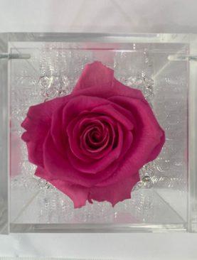 Rosa stabilizzata fucsia