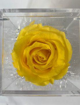 Rosa stabilizzata gialla