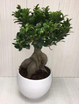 Bonsai varie misure - Ficus Ginseng in caspò bianco