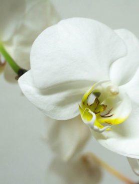 Pianta di orchidea phelanopsis bianca con caspo incluso