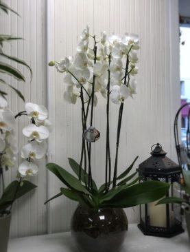 Orchidea phelanopsis con 4 rami fioriti in boule di vetro