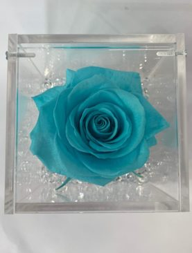 Rosa stabilizzata turchese