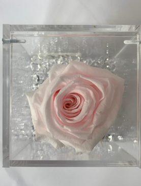 Rosa stabilizzata rosa chiaro