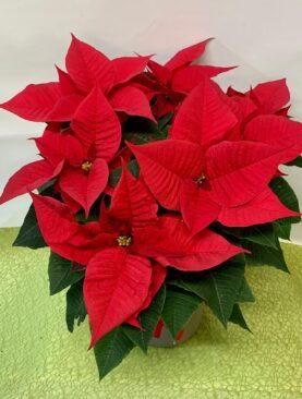 Stella di Natale - Media - Caspò di ceramica incluso